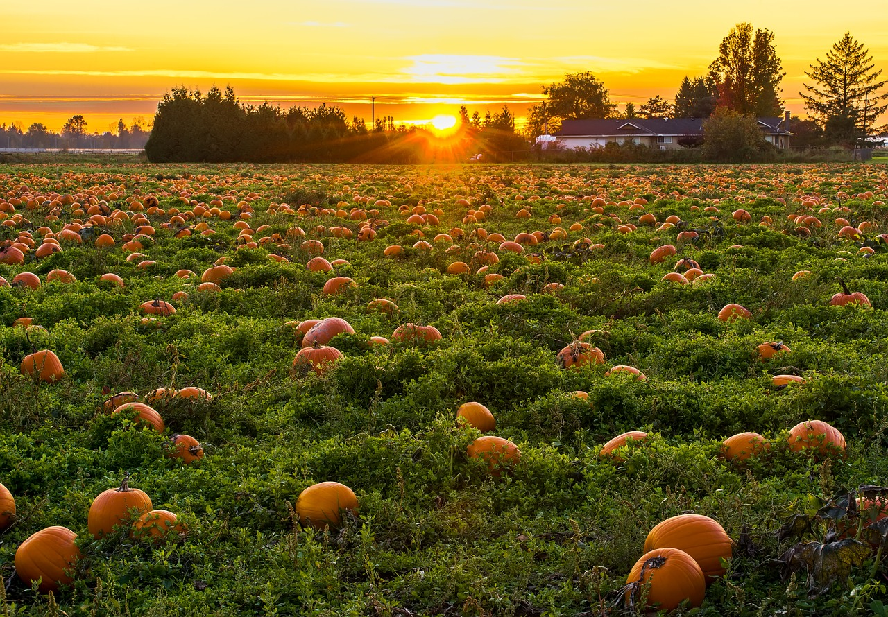 pumpkin patch at sunset